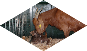 Boer Goat and Baby Goat