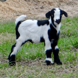 Goats for Sale, Fainting Goats